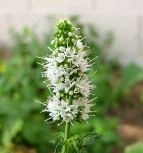 La menthe bio : une plante médicinale aux nombreux bienfaits